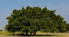 不遠就一個這樣的大樹 (Leonarka(阿傑)) Tags: 運動 球 eos80d 河堤
