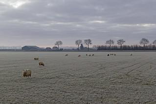 Cold Sheep