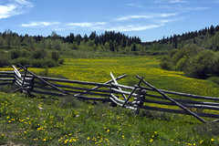 wildflowers ungrazed (Jeff Mitton) Tags: dandelion taraxacum columbinepass uncompahgreplateau colorado fence pasture landscape scenic wondersofnature earthnaturelife