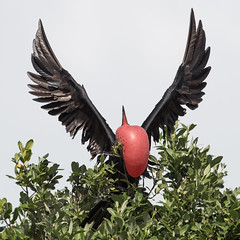 Skyward (PeterBrannon) Tags: bird florida fortdesoto fregatamagnificens magnificentfrigatebird nature pinellascountyflight tampa wildlife wings courtshipdisplay display