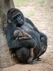 Mama Kudzoo and baby Mija (Bob.Z) Tags: zooatlanta atlanta georgia unitedstates us primates ga usa gorillas zoosofthesouth