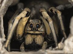 Araña lobo en su guarida (Antonio Lorenzo Terrés) Tags: spider araña lycosa tarántula