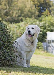 Sadie sitting in the shade (KelJB) Tags: portrait grass outdoors white doggy love companion friend mammal pet goldenretriever golden retriever canine dog
