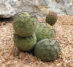 Tephrocactus geometricus (shadowshador) Tags: tephrocactus geometricus neomura eukaryota archaeplastida plantae plant plants tracheobionta spermatophyta magnoliophyta magnoliopsida caryophyllidae caryophyllales cactaceae opuntioideae tephrocacteae taxonomy scientific classification biology botany wildlife life chesterzoo cactus green