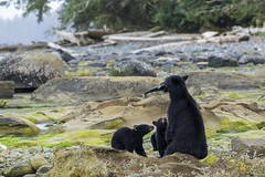 SWR and the cubs (r) (Melanie Leeson) Tags: americanblackbear blackbears blackbear blackbearfamily blingsister melanieleesonwildlifephotography canon7dmarkii canonef100400mmf4556lisiiusm