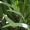 Fabula di erbaspada (Kini Pier) Tags: natura gladiolo erbaspada green verde foglia naturallight lucenaturale squared quadrato squaredformat quadratum
