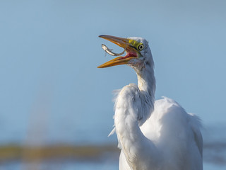 Great egret, Wells Reserve at Laudholm
