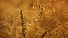 *** (pszcz9) Tags: samyang zboże grain zbliżenie closeup bokeh przyroda nature natura beautifulearth sony a77
