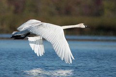 Trumpeter Swan (NicoleW0000) Tags: trumpeterswan bird waterfowl birdinflight wildlife nature photography lake ontario swan flight