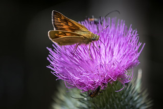 thistle with insects