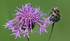 Meadow Celebrities (AnyMotion) Tags: brownknapweed wiesenflockenblume centaureajacea gewöhnlicheflockenblume blossom blüte bokeh 2017 floral flowers botanischergarten frankfurt plants pflanzen anymotion colours colors farben purple lila 7d2 canoneos7dmarkii summer sommer été verano zomer estate ngc npc