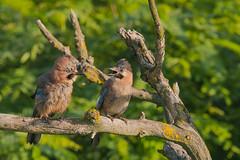 Discussion (tomaszberlin) Tags: bird nature sójka eurasianjay bw nikon d500 bokeh bulgaria action wild animal green wildlife