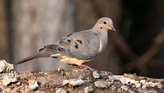 Mourning Dove on a Log (ksblack99) Tags: mourningdove bird log grasslake michigan zenaidamacroura