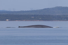 IMG_4055 (Sergey Kustov) Tags: canada quebec nature wildlife scenery view animal creature sea st laurent whale mammal