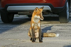 City Fox (marylee.agnew) Tags: red fox city wildlife urban canine cars encroachment nature outdoor