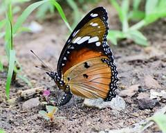 Danaid Eggfly - Female (sreejithkallethu) Tags: hypolimnasmisippus danaideggfly ചൊട്ടശലഭം butterflies butterfliesofneeravil butterfliesofkerala nature naturephotography neeravil kollam kerala danaideggflyfemale