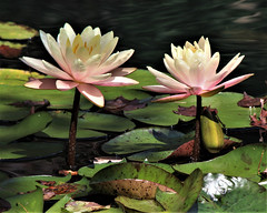 Two Lillies.jpg (sherri_lynn) Tags: lillies lily waterlillies pond japanesegarden garden gardens gibbsgarden georgia nature water flower flowers lilypads