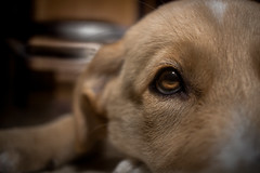 The light of your eyes (Neatoo) Tags: puppy godlen retriever cute aww posed close up animal canine dog dogs puppies