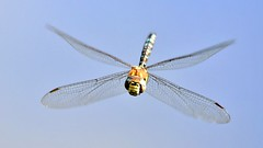 Head-on hover. (pstone646) Tags: dragonfly nature insect flight flying kent wildlife closeup wings animal ngc