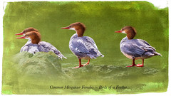Common Merganser females ~ Birds of a feather (Johnrw1491) Tags: short story essay species birds tactics strategies fine art digital wildlife photography writing illustrating mergansers common ducks waterfowl divers nature