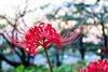_DSC2175 (sayo-tsu) Tags: lycoris 彼岸花 曼珠沙華 saitama sattecity gongendopark 権現堂 ヒガンバナ
