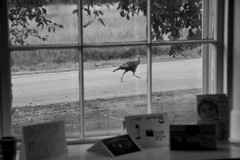 ...walk on by (brucetopher) Tags: turkey bird farmhouse window old antique road rural byway field fields looking watching lookingout through glass throughglass pane frame cards adirondacks new york country travel holiday vacation touring tourism roadtrip trip roadside america northeast lakechamplain lakesregion black white blackandwhite bw blackwhite monochrome contrast tone tones