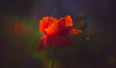Moody Red (Dhina A) Tags: sony a7rii ilce7rm2 a7r2 wollensak 3inch 75mm f19 oscilloraptar 109x wollensak75mmf19 bokeh 19 oscilloscope moody red flower