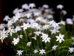 spring star enmasse (Georgie Sharp) Tags: spring star enmasse