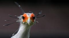 Dancin' Feathers (Nephentes Phinena ☮) Tags: nikond500 secretarybird sekretär sigma50500mmf463 vogelparkwalsrode