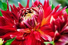 Dahlie  (11) (berndtolksdorf1) Tags: dahlien gartenblumen pflanten plant blumen flower blüten blossom rot red