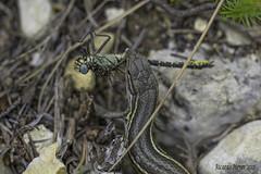 Cazador cazado. Hunted hunter (Ricardo Menor) Tags: depredado cazador cazado odonato anisóptero lagartija gomphusgraslinii bicorp valencia cazuma 2017