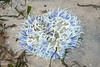 Snaky sea anemone (Macrodactyla doreensis) bleaching? (wildsingapore) Tags: cyrene macrodactyla doreensis cnidaria actiniaria threats bleaching marinelife nature wildlife underwater wildsingapore