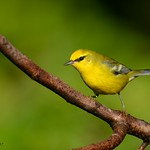 Blue winged Warbler (Explored 9/20/17) thumbnail