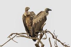 White-backed Vultures (Gyps africanus) (Janis May) Tags: africanbird whitebackedvulture kenya eastafrica