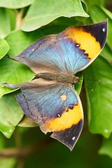 DSC04111 (denn22) Tags: butterfly schmetterling papillon september 2017 denn22 ilce7rm2 70200mmf28gmoss a7rm2