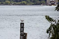 r_170921272_beat0057_a (Mitch Waxman) Tags: birds gulls killvankull newyorkcity newyorkharbor statenisland newyork