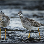 Lesser Yellowlegs / Petit Chevalier / Tringa flavipes thumbnail