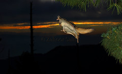 Flying squirrel (Zahoor-Salmi) Tags: zahoorsalmi salmi wildlife pakistan wwf nature natural canon birds watch animals bbc flickr google discovery chanals tv lens camera 7d mark 2 beutty photo macro action walpapers bhalwal punjab