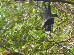 Flying fox resting during the day on a tree!!