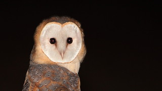 Coruja das torres - Tyto alba - Barn Owl