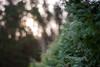 Bokeh World (modestmoze) Tags: nature 2017 500px summer september shadows naturephotograph naturelove green bush plant travel explore flora outside outdoors lithuania beautiful details interesting simple important view focus bokeh bokehworld naturepics garden trees forest brown sun morning