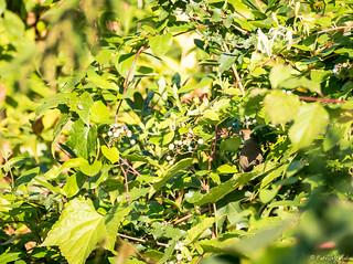 Sylvia atricapilla - Sylviidae - Fauvette à tête noire - Eurasian Blackcap - Pépinière Patrick Nicolas - Meudon - Île-de-France - France