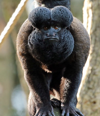 bearded saki Apenheul BB2A2065 (j.a.kok) Tags: saki beardedsaki baardsaki aap animal apenheul mammal monkey zoogdier dier zuidamerika southamerica