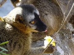 Madagascar '17 (faun070) Tags: isalo redfrontedbrownlemur lemur mammal africa africanwildlife wildlife madagascar