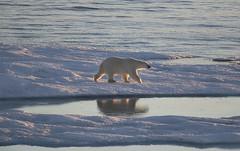 Canada. (richard.mcmanus.) Tags: canada nunavut baffinisland arctic bears polarbears reflection mcmanus mammal