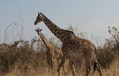 Aligned (MrBlackSun) Tags: masai masaigiraffe giraffe giraf ruaha ruahanationalpark ruahanp nikon nikond810 d810 safari wildlife tanzania
