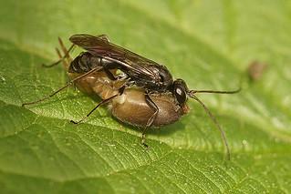 Grijze Spinnendoder - Pompilus cinereus