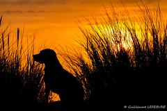 Coucher de Soleil à Berck-Sur-Mer (Guillaume7762) Tags: beagle coucher soleil berck sun sunset plage oyat silhouette