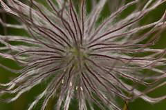 High Tatra Flora (pulsatilla alpina) (The LakeSide) Tags: macro slovakia vysoke tatry tatra high nikon r1c1 d7100 flower flora
