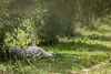 Parcs des Félins (Fla(v)ie) Tags: félin feline animal tigre tiger whitetiger tigreblanc nature
